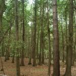 Thuja_occidentalis_forest_2_Wisconsin.jpg Thumbnail